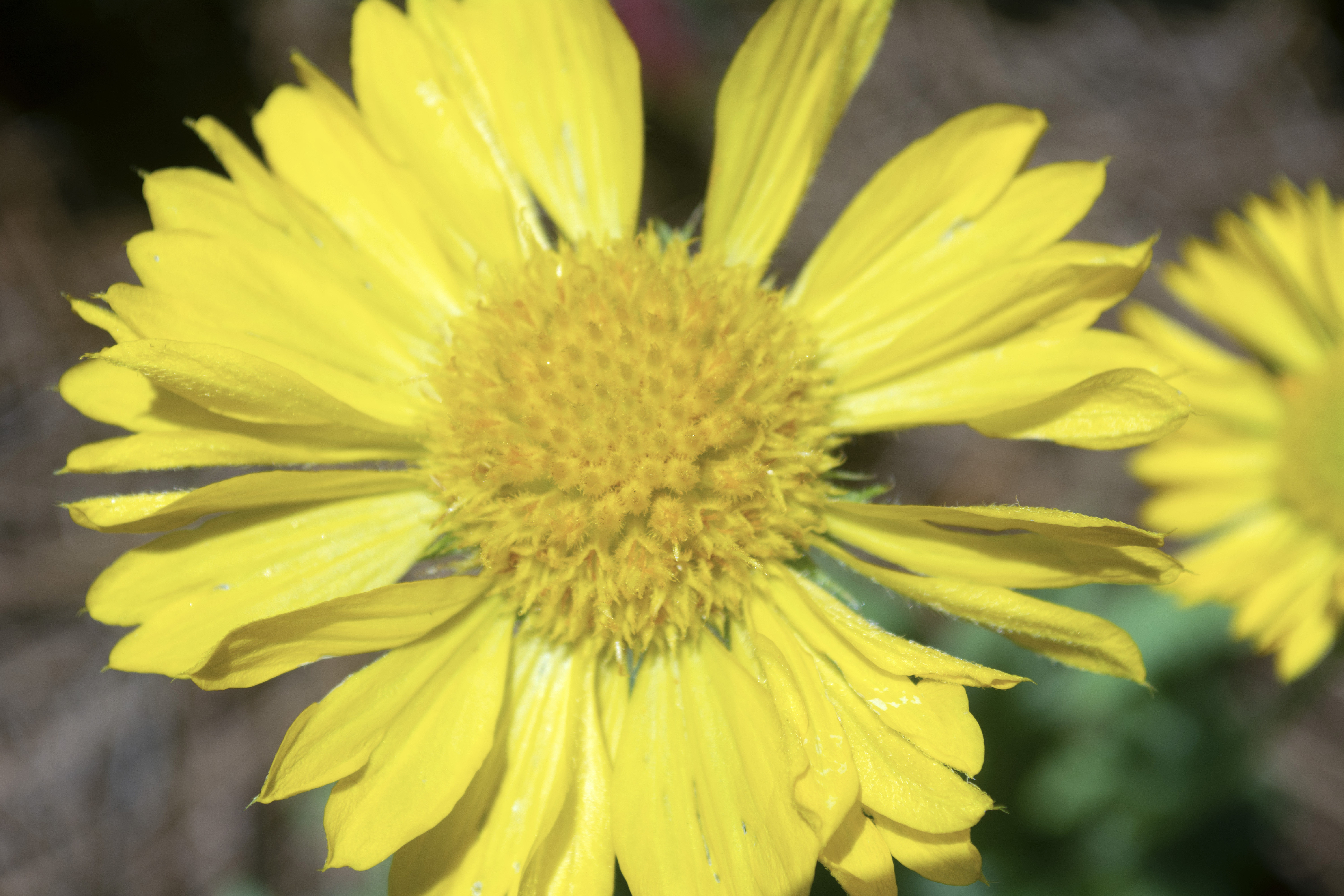 A yellow flower at Alfred B. McCabe Garden State Park in Tallahassee, FL
